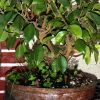 Pot 1 ficus retusa leger