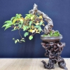 82�me MEIFU TEN BONSAI SHOW - dernier message par abcd