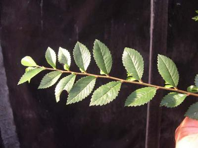 ulmus_parvifolia_nire_d_tail_feuille.JPG