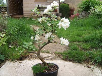 Malus_fleurs_c.jpg