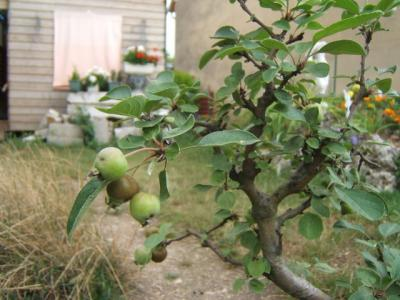 Malus_fruits.jpg