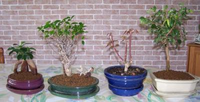 ficus retusa ginseng acer page 2 mon bonsai ne va pas bien forums parlons bonsai. Black Bedroom Furniture Sets. Home Design Ideas