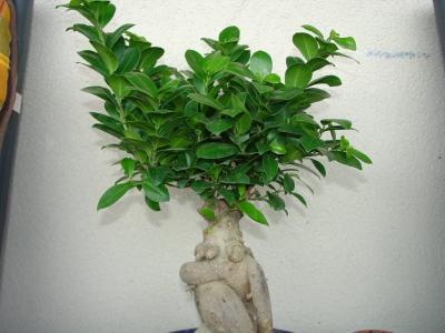 ficus retusa les chuhin et autres grands bonsa forums parlons bonsai. Black Bedroom Furniture Sets. Home Design Ideas