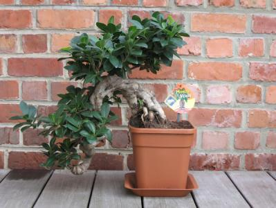 ficus ginseng les chuhin et autres grands bonsa forums parlons bonsai. Black Bedroom Furniture Sets. Home Design Ideas
