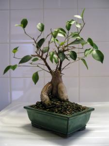 ficus microcarpa ginseng mon bonsai ne va pas bien forums parlons bonsai. Black Bedroom Furniture Sets. Home Design Ideas
