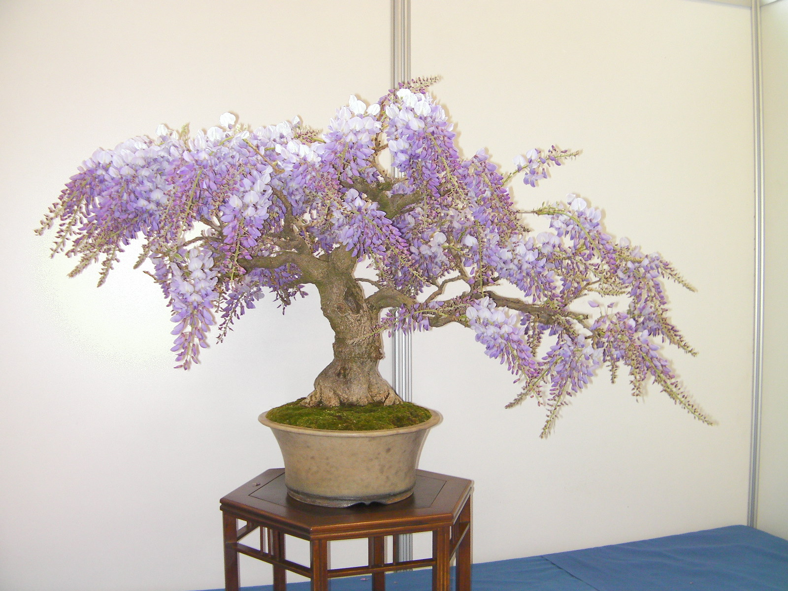 wisteria sinensis glycine de chine les chuhin et autres grands bonsa forums parlons bonsai. Black Bedroom Furniture Sets. Home Design Ideas