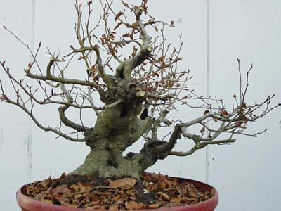 fagus_mars_02.JPG