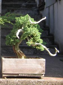 Copie_de_bonsai_1197.jpg