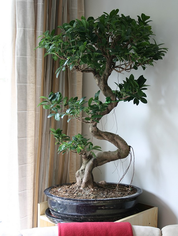 ficus bonsai prix. Black Bedroom Furniture Sets. Home Design Ideas