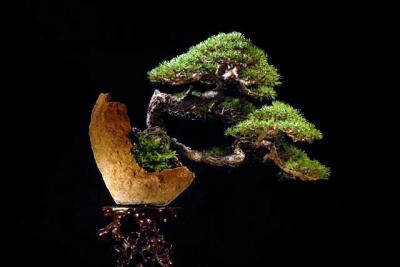 16_Pinus_sylvestris_Luis_Vallejo.JPG