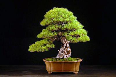 20_Pinus_parviflora_Mario_Komsta.JPG