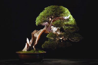 23_Juniperus_Chinensis_David_Vanoirbeek.JPG