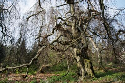 28419181-Old-european-beech-fagus-sylvatica-in-the-park-Buchlovice-Czech-republic-Central-Europe--Stock-Photo.jpg