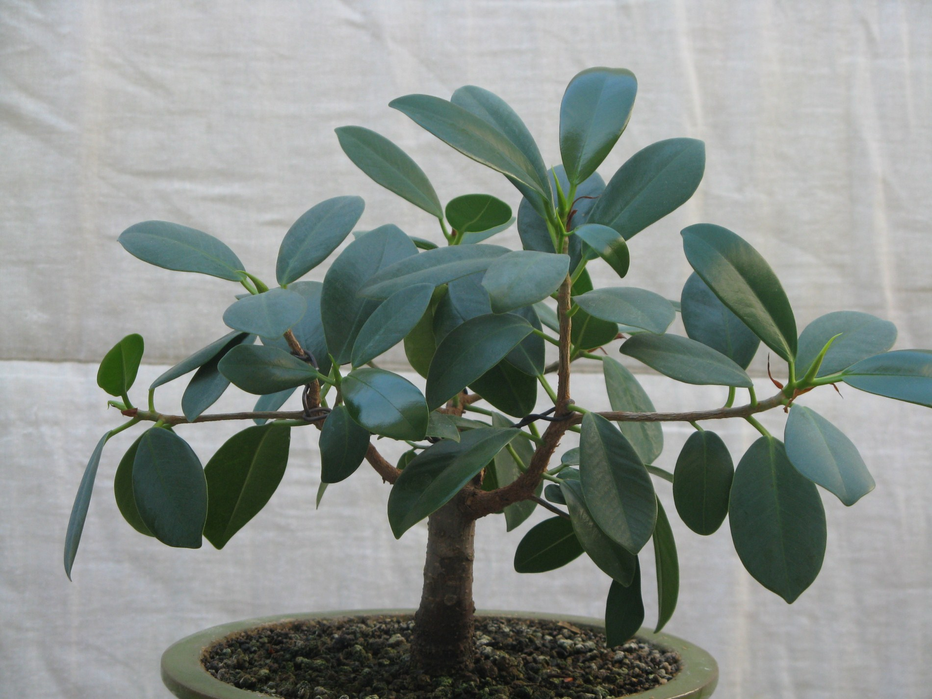 ficus ginseng page 10 le coin des shohin et mame forums parlons bonsai. Black Bedroom Furniture Sets. Home Design Ideas