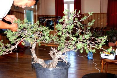 Jeker Bonsai 0021.jpg