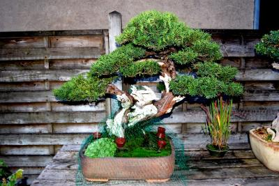 Jeker Bonsai 0011.jpg