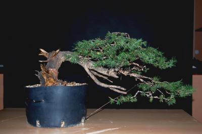 Jeker Bonsai 0027.jpg