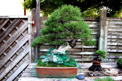 Jeker Bonsai 0017.jpg