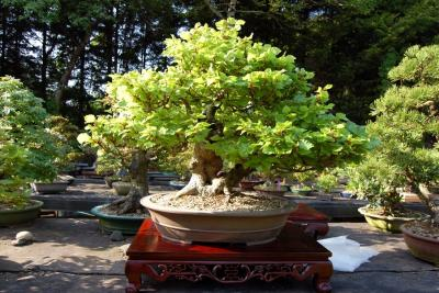 Bonsai Antonin 0029.jpg
