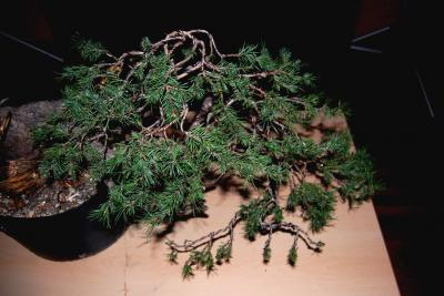 Jeker Bonsai 0031.jpg