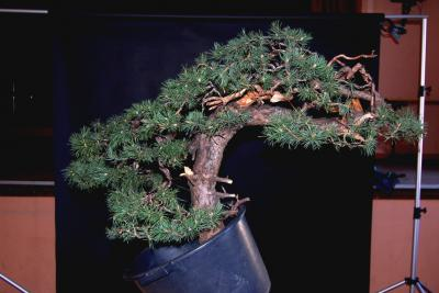 Jeker Bonsai 0015.jpg