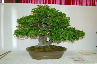 Bonsai Antonin 0019.jpg