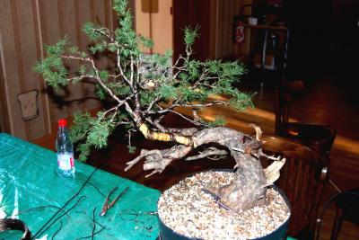 Jeker Bonsai 0024.jpg