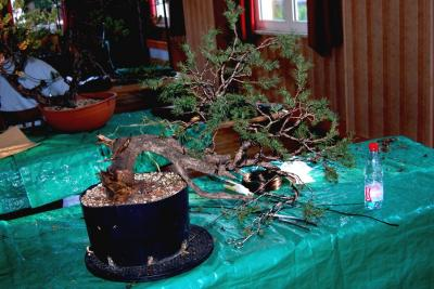 Jeker Bonsai 0022.jpg