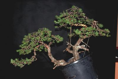 Jeker Bonsai 0039.jpg