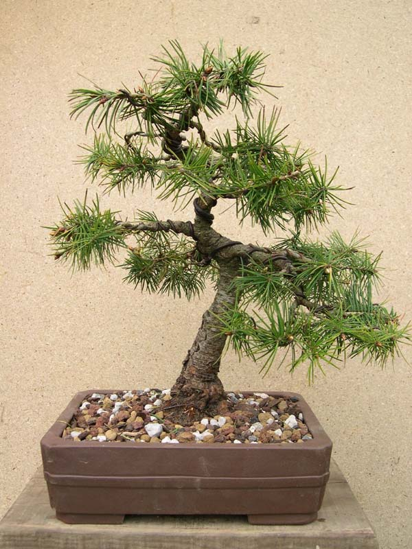 sapin douglas ou pseudotsuga menziesii biologie et esp ces forums parlons bonsai. Black Bedroom Furniture Sets. Home Design Ideas