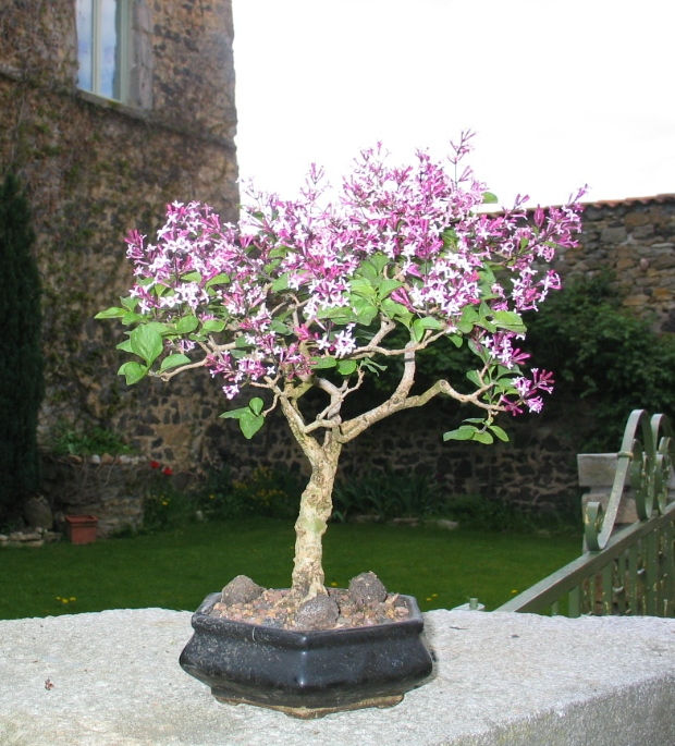 Entretenir son bonsa collection design inspiration pour le jardin et son compl ment - Comment tailler un lilas ...