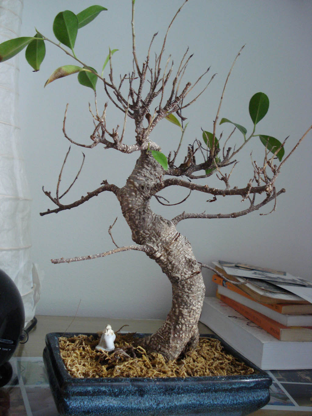 bonsai qui perd ses feuilles mon bonsai ne va pas bien forums parlons bonsai. Black Bedroom Furniture Sets. Home Design Ideas