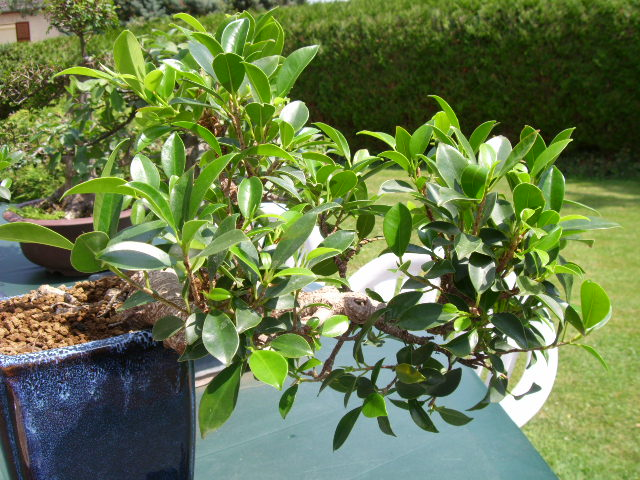 mon ficus demi cascade mon bonsai ne va pas bien forums parlons bonsai. Black Bedroom Furniture Sets. Home Design Ideas