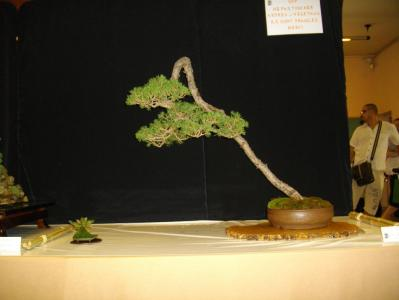 Expo Bonsai Peypin - 10 septembre 2011 015.jpg