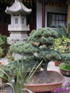 temple cour bonsai.jpg