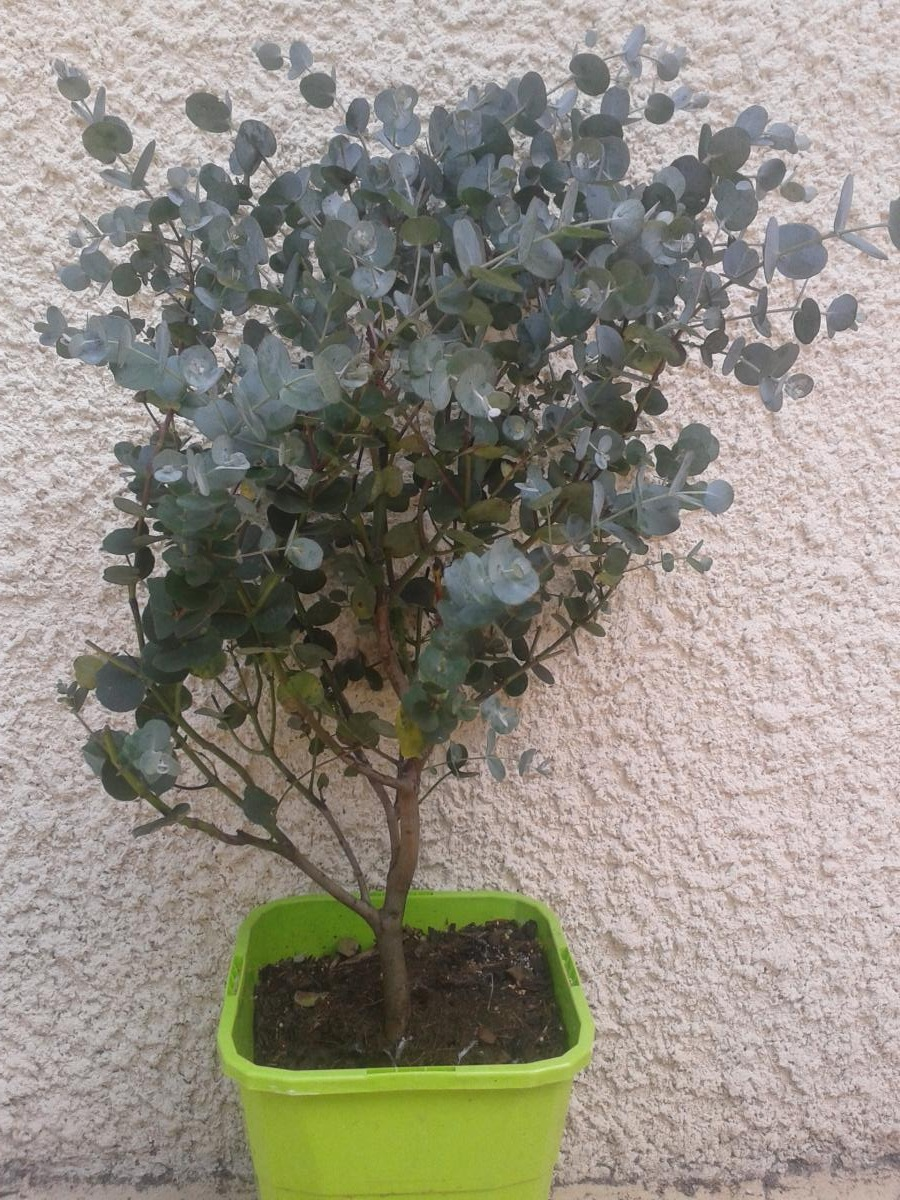 eucalyptus azura mes premiers bonsai pr sentation et premiers projets forums parlons bonsai. Black Bedroom Furniture Sets. Home Design Ideas