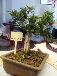 1er cours  de la premi�re classe Acadmemy Bonsai 13-14-15 octobre 2011 (58).JPG