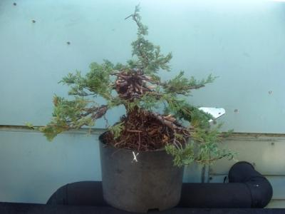 1er cours  de la premi�re classe Acadmemy Bonsai 13-14-15 octobre 2011 (37).JPG