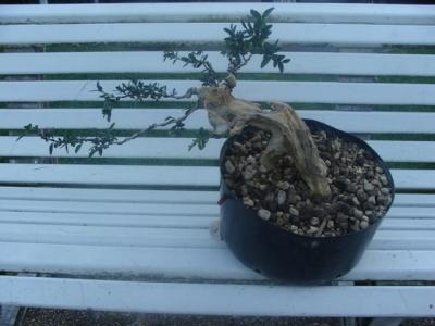 1er cours  de la premire classe Acadmemy Bonsai 13-14-15 octobre 2011 (33).JPG