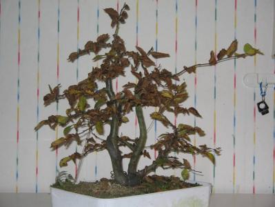 Carpinus_3T_octobre2005.jpg