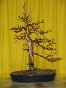 Larix_shari_apr_s_dec2005.jpg