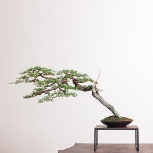 Pygmy Cypress No. 1.jpg