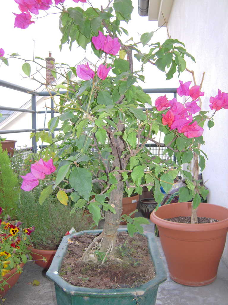 bougainvillier mon bonsai ne va pas bien forums parlons bonsai. Black Bedroom Furniture Sets. Home Design Ideas