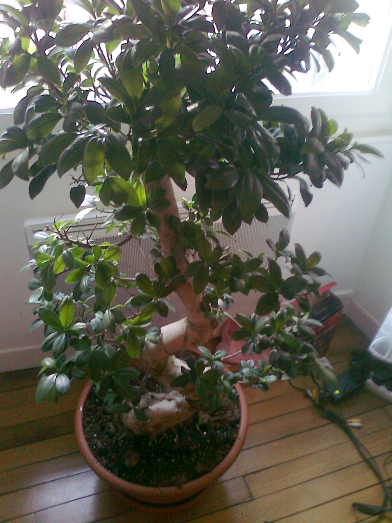 mon ficus ginseng et the substrat id al mon bonsai ne va pas bien forums parlons bonsai. Black Bedroom Furniture Sets. Home Design Ideas