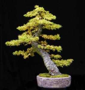 bonsai_larix.jpg