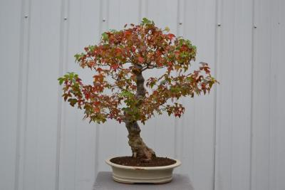 bonsai autonne 2016 015.jpg