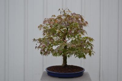 bonsai autonne 2016 014.jpg