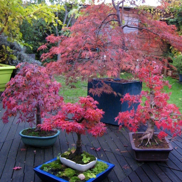 vos plus belles photos d 39 rables page 4 le bonsai caf forums parlons bonsai. Black Bedroom Furniture Sets. Home Design Ideas