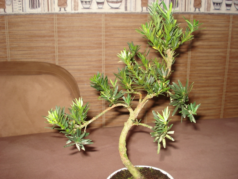 clip 39 n grow podocarpus et autres trucs et techniques forums parlons bonsai. Black Bedroom Furniture Sets. Home Design Ideas