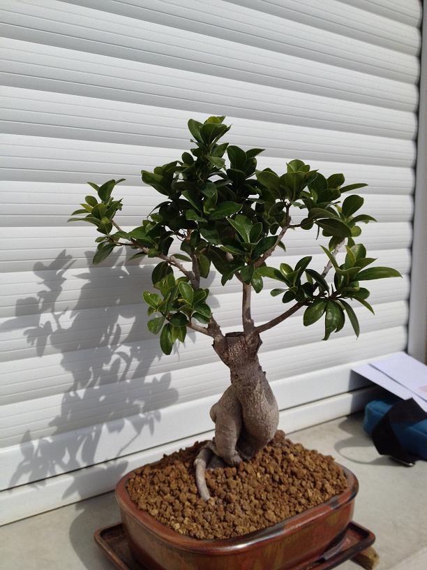 ficus ginseng comment le tailler mon bonsai ne va pas bien forums parlons bonsai. Black Bedroom Furniture Sets. Home Design Ideas